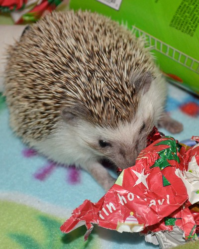 Hedgie Christmas | by steven_and_haley_bach