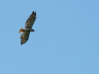 Red-tailed Hawk (Buteo jamaicensis) | by magnificentfrigatebird