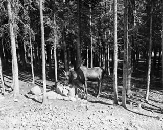 Moose at salt lick near Cameron Lake, Waterton Lakes National Park, Alberta / Un orignal profite d'un bloc à lécher près du lac Cameron, au parc national des Lacs-Waterton, en Alberta