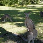 01 Viajefilos en Australia. Morriset 08