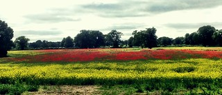 Field of many colours   by William Parsons Pilgrim