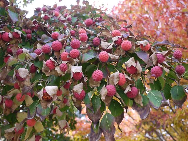 日, 2013-11-03 13:43 - ヤマボウシの果実