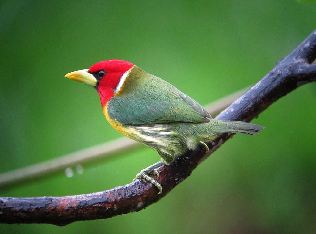 Imagen de una de las aves del Quindio: Torito cabecirrojo (Eubuco bourcierii)