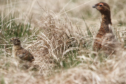 Red Grouse and Chick | by Paul Marfell