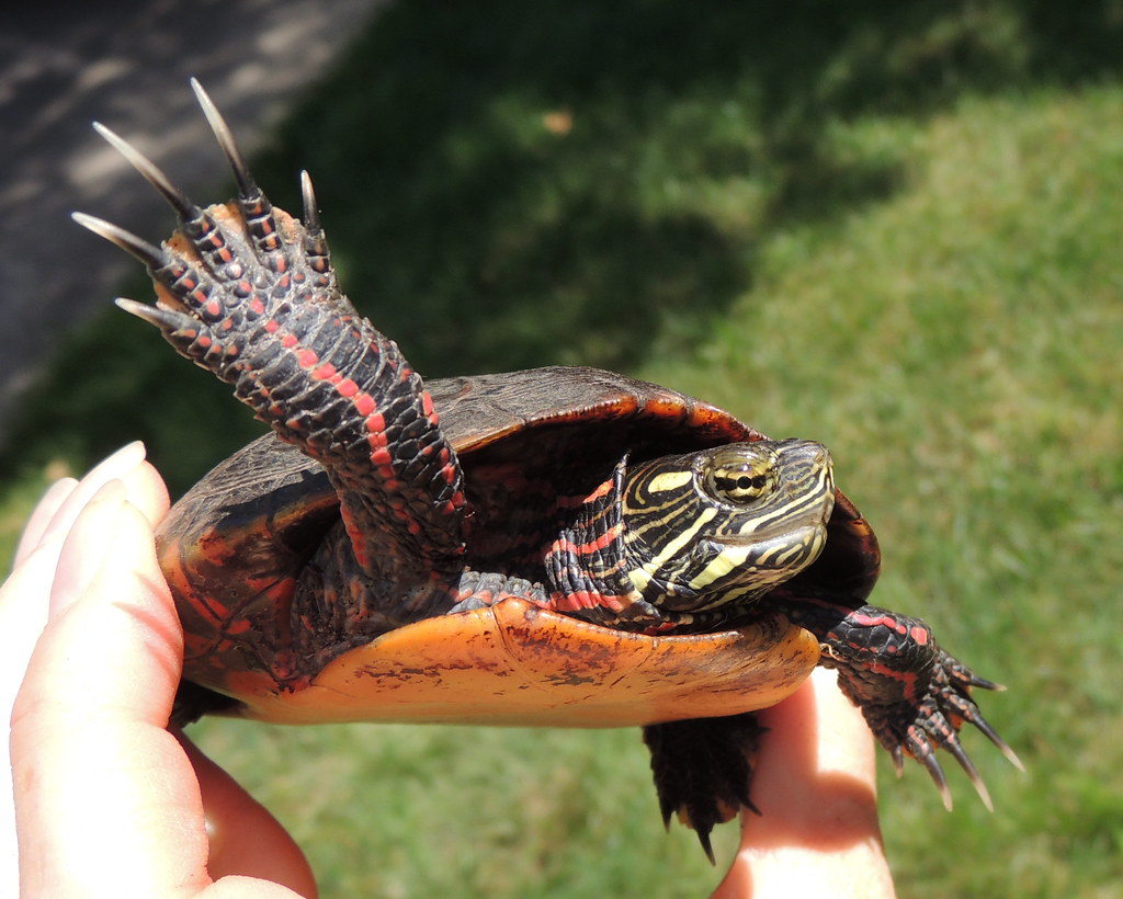 Eastern Painted Turtle   Found walking around several feet f…   Flickr