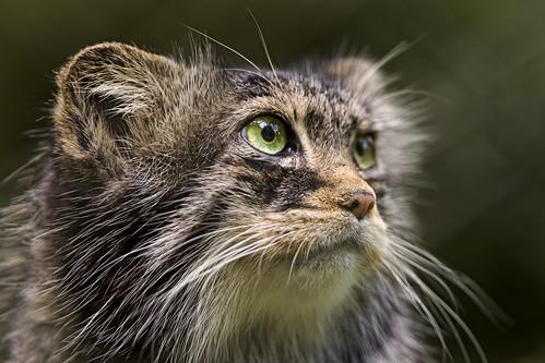 Another pallas cat portrait   by Tambako the Jaguar