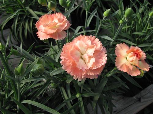 Dianthus orange   by Les Serres Fortier