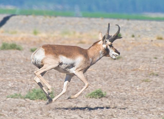 Racing Antelope