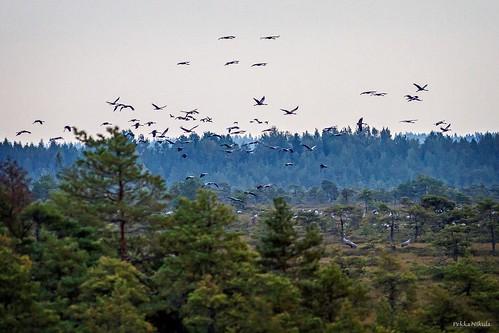 sunset bird nature finland nationalpark crane swamp migration lintutorni infocus lintu highquality huittinen kurki isosuo isosuopuurijärvi