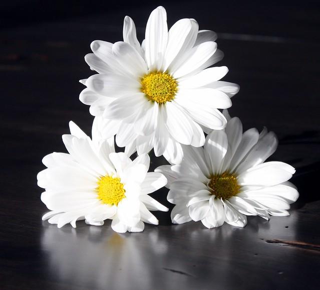 ~ Daisies ~   (EXPLORE)