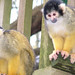 Primate Conservation: New World Monkeys