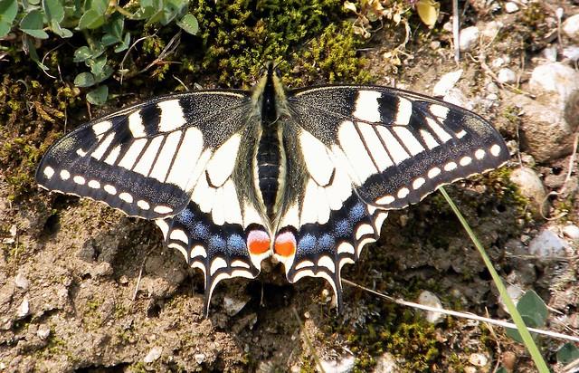 Papilionidi