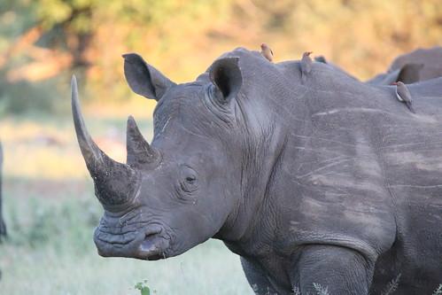 Best of Kruger 2014 White Rhino002 | by Abspires40