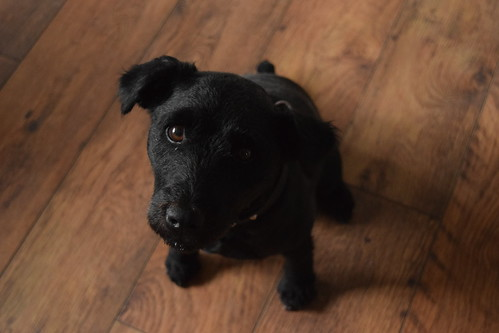 Patterdale Terrier | by laura_coxon