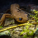 Flickr photo 'rough-skinned newt (Taricha granulosa) - underwater in a forest puddle' by: DaveHuth.