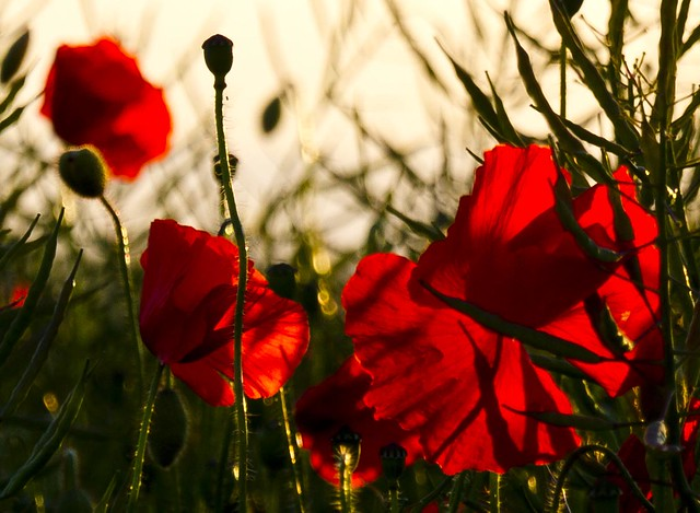Oilseed and Poppies