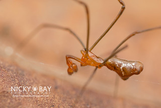 Comb-Footed Spider (Argyrodes sp.) - DSC_2271