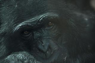 Wondering chimpanzee - Artis Royal Zoo | by Kitty Terwolbeck