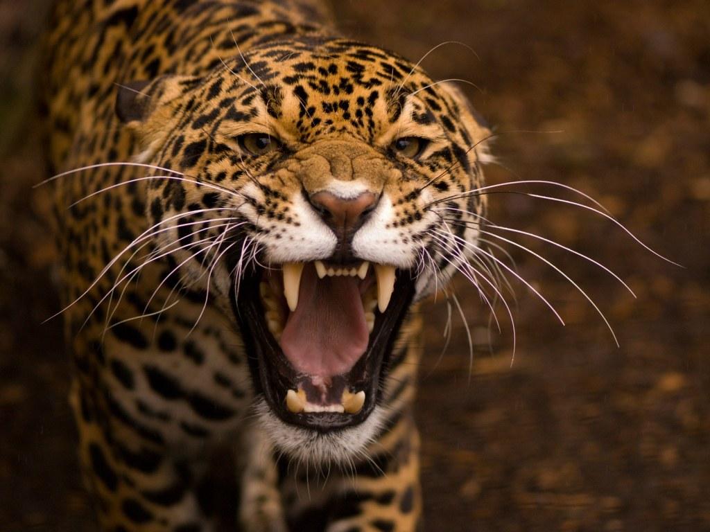 Onca Pintada Zoologico Bosque Guarani Foz Do Iguacu Revis Flickr