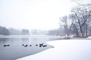 Ducks in Snow | by cgc76