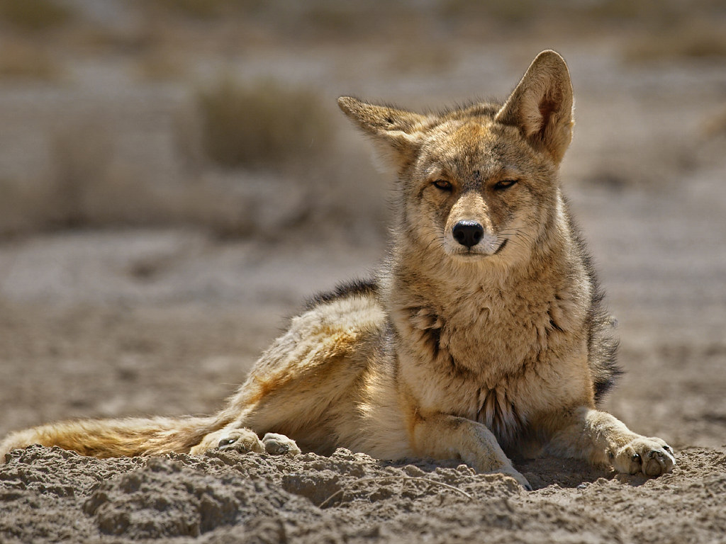 Death Valley Mearns Coyote