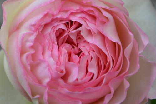 rosier 'Pierre de Ronsard' 32258794653_c8f079bb68