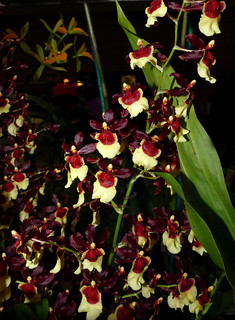 photographed at the 2017 pacific orchid & garden exposition, Oncidium Volcano Hula Halau 'Volcano Queen' hybrid orchid 2-17 | by nolehace