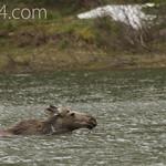 Young Bull Moose swimming