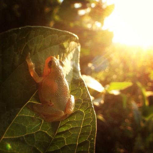 sun sunrise wideangle frog lensflare treefrog olloclip japanesetreefrog☀️ 弥厚公園