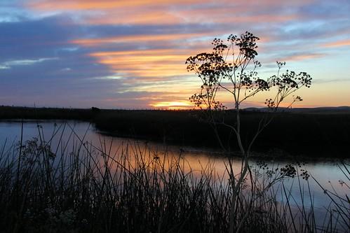 northerncalifornia sunrise dawn fennel wildfennel solanocounty suisunmarsh foeniculumvulgare hillslough thespiceforwednesdays