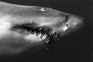 Shark V2