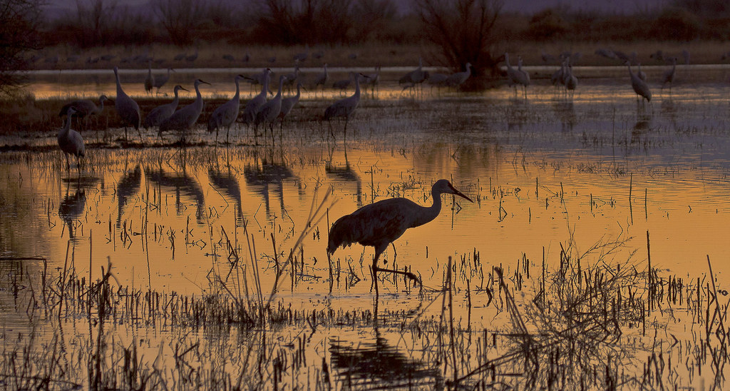 It Was Twilight And Sandhill Cranes >> Twilight Patrol Sandhill Cranes Grus Canadensis Ladd Flickr