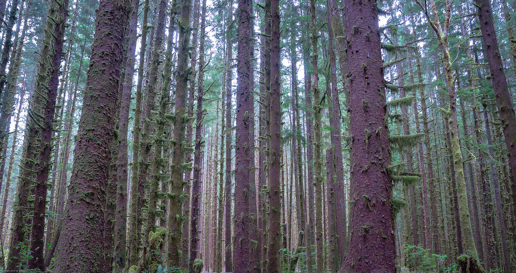Between the Trees, Olympic National Forest, Washington