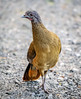 Rufous-vented Chachalaca (Ortalis ruficauda) - Cuffie River, Tobago by JFPescatore