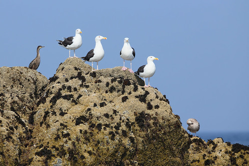 Great Black-backed Gulls On Manacles Rock | by Calidris!