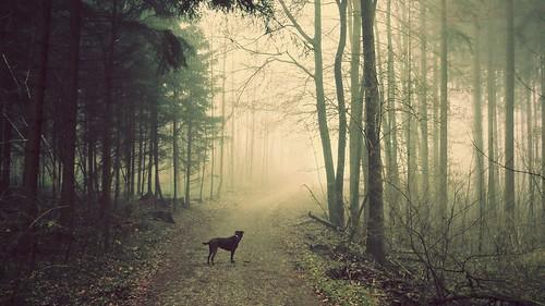 trees dog sunlight nature sunshine fog forest sunrise landscape switzerland foggy