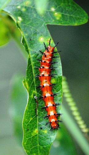 Caterpillar | by mikemac29