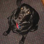 Shea - fat dog