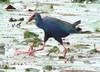 African Swamphen by Mandara Birder