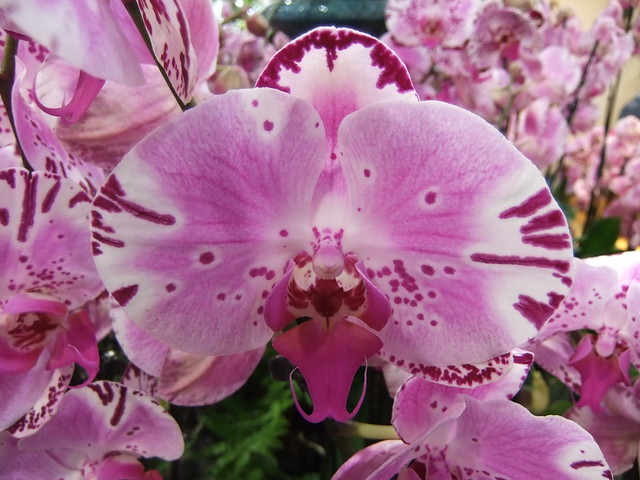 Orchid @ KEW Festival 2014 (Part 11 of 12) -  Phalaenopsis Diamond Sky - World Premiere (Part 1 of 2)