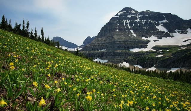 glacier lilies, stoney indian pass, glacier national park