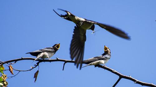 Barn Swallow Feeding Chicks   The Barn Swallow (Hirundo ...