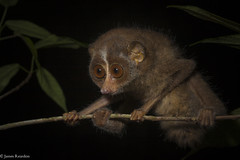 Red Slender Loris, L. t. tadigradus photo James T. Reardon-3158