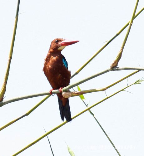 White-throated Kingfisher (Halcyon smyrnensis | by aMa2er