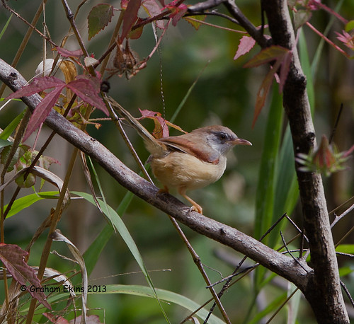 Red-winged Warbler,  Red-winged Prinia,   Prinia erythroptera rhodoptera, | by Graham Ekins