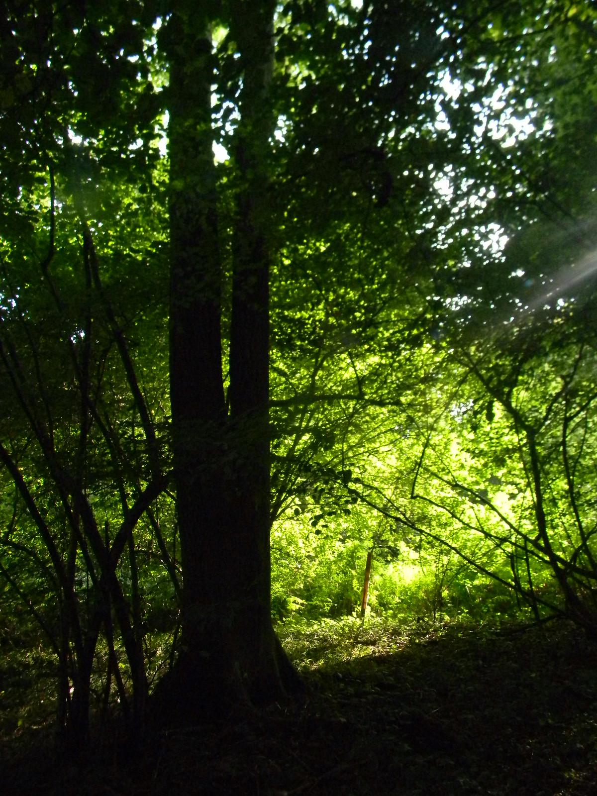 Sunlit tree 3 Goring Circular