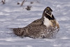 036014-IMG_7094 Greater Sage-grouse (Centrocercus urophasianus) by ajmatthehiddenhouse