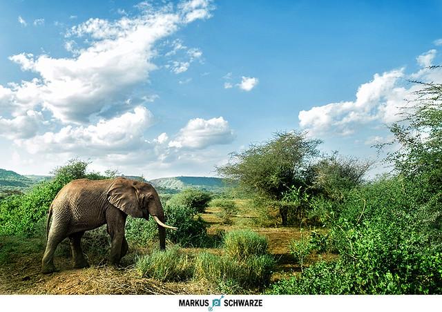 Elephant at the Manyara national park