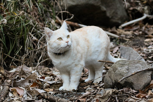 4T4A4625-2 Cream tabby Japanese cat 薄茶トラ猫
