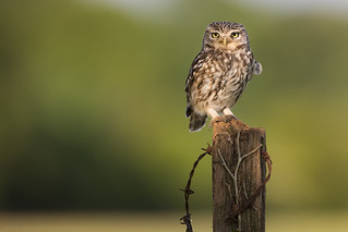 Little Owl | by iesphotography